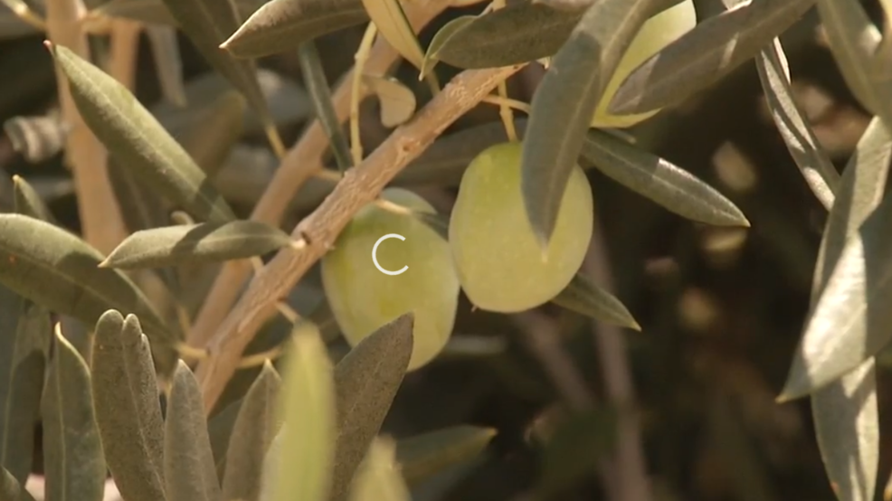 Olive oil production sees opportunity for growth in Kern